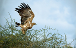 Tawny Eagle with wings up, about to fly from perch in the top of a tree with thorns