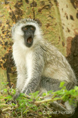 Vervet Monkey adult with open mouth, in tree
