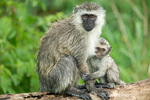 Baby Vervet Monkey nursing from its mother