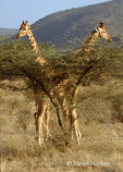 Reticulated Giraffes necking behind bush, partially camouflaged, looking like a