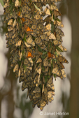 Cluster of Monarch Butterflies hanging on a Eucalyptus tree branch in early morning