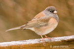 Female Dark-eyed Junco, Oregon subspecies, standing on frost-covered wood railing