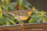 Female Varied Thrush perched on the back of a bench in my backyard in front of a rhododendron bush in early spring