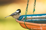 Black-capped Chickadee perched on a bird bath in my backyard, about to take a drink