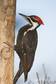 Pileated Woodpecker eating from a log suet feeder in my backyard