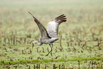 Sandhill Crane doing courtship dance in harvested corn field