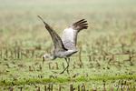 Sandhill Crane doing courtship dance in harvested corn field