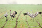 Three Sandhill Cranes performing courtship dance in harvested corn field