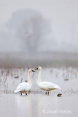 Two Tundra Swans looking at each other in the fog, standing in a shallow pond