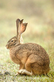 Black-tailed Jackrabbit sitting in a meadow