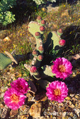 Beavertail Prickly Pear Cactus in bloom