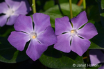 Periwinkle flower, an invasive, non-native plant