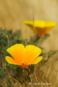 Two California Poppies growing in chaparral grass