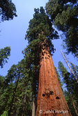 Looking up at tall Giant Sequoia trees
