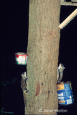 Two Northern Flying Squirrels sitting on side of tree by feeding cans of nuts, at night