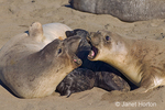 Two Northern Elephant Seal females fighting, defending their young pups beside them.