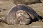 Male Northern elephant Seal face close-up, showing their large proboscis