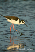 Black-necked Stilt searching for food in the muddy tidepools, and  its reflection at sunset