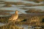 Long-Billed Curlew walking in tidal mudflats