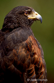 This captive Harris's Hawk was perched on a post, intently checking out all of the visitors at the zoo.