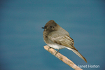 Black Phoebe perched on a branch at the pond's edge