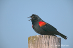 Red-winged Blackbird sitting on fence post singing