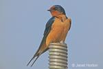 Barn Swallow sitting on large metal screw