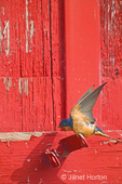Barn Swallow just landing on a barn hinge, with its wings up