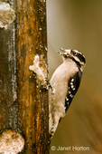 Female Downy Woodpecker eating from a log suet feeder in my backyard