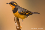 Male Varied Thrush perched on a cattail