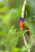 Male Eastern Painted Bunting sitting on tree branch