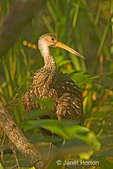 Limpkin walking in a wooded swamp