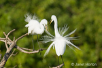 Great Egrets displaying, fighting over territory