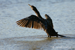 Double-crested Cormorant with wings out, taking off in shallow water