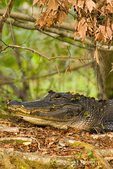 Large American Alligator sitting on a log in the swamp