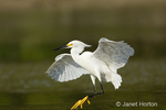 Snowy Egret (Egretta thula) landing in a lagoon with wings outspread.