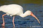 White Ibis walking in a shallow lagoon, trying to eat a small snake, but the snake wrapped itself around the bird's bill.  After quite a struggle, the bird was successful in eating the snake.