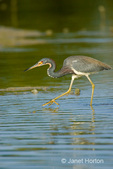 Tricolored Heron, also known as the Louisiana Heron, feeding in a shallow lagoon.
