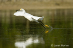 Snowy Egret taking off from shallow lagoon