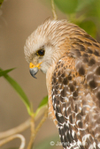Head and shoulders view of a Red-shouldered Hawk sitting in a tree