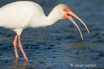 White Ibis trying to swallow a small snake