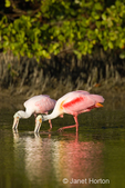 Two Roseate Spoonbills feeding in a shallow lagoon with their reflections showing