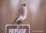 American Kestrel sitting on refuge sign