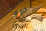 Cliff Swallow building a mud nest under the eaves of a building
