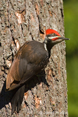Pileated Woodpecker clinging to tree trunk