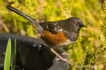 Spotted Towhee perched on plastic flower pot in my backyard