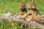 One Gray Wolf pup biting another wolf pup's ear, resting on a log in the meadow