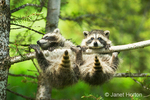 Two Common Raccoons grasping branch on tree