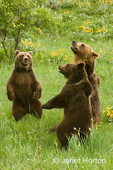 Two young Grizzly Bears standing up (and dancing?) and one adult Grizzly Bear sitting on its haunches.