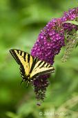 Western Tiger Swallowtail butterfly on Black Knight Butterfly Bush taken in my backyard